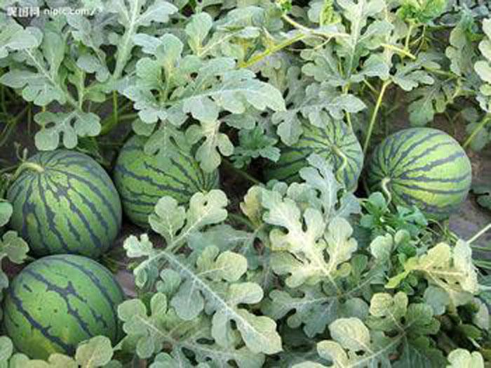 雷火电竞下载用于瓜类种植